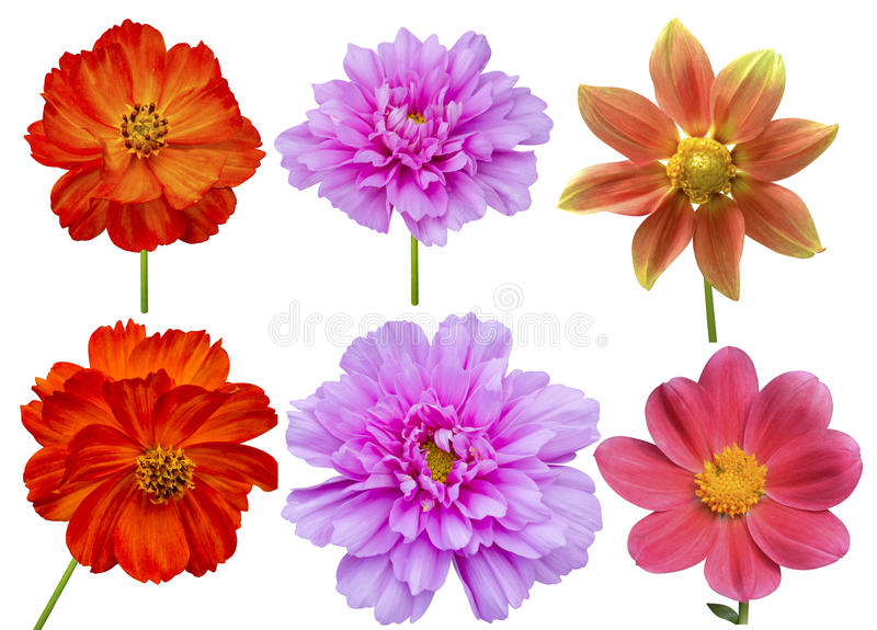 Dahlias cosmos aster flower royalty free stock image