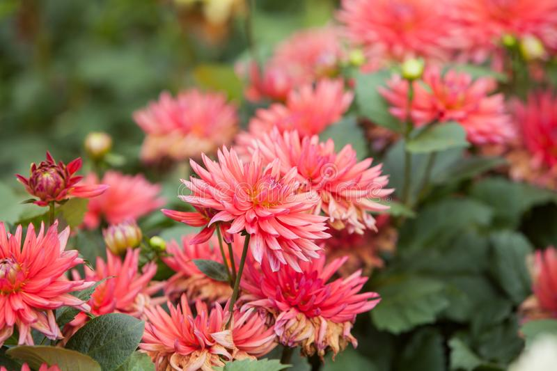 Dahlias in the garden. Beautiful Pink Dahlias growing in a garden stock photo