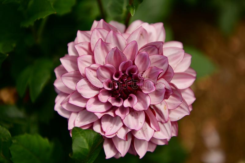 Dahlias garden (Dahlia x cultorum). The use of dahlias in gardens is very versatile. They can decorate ordinary gardens, or country, mixed up with royalty free stock photos