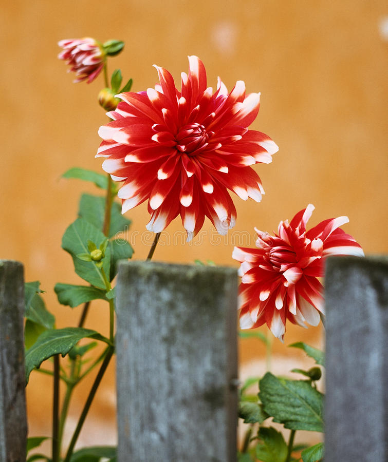 Dahlias and a pen. Flower fence royalty free stock photos