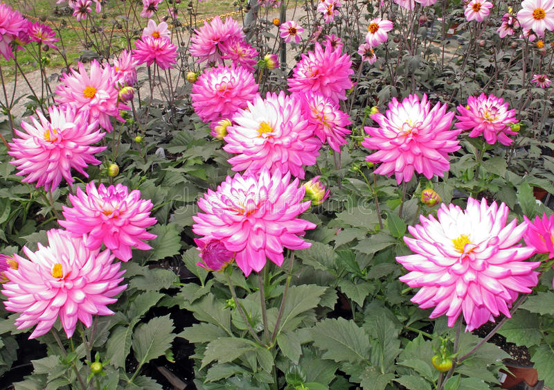Dahlias. Pink Dahlias in a garden, Asteraceae, upstate New York,  bushy, tuberous, herbaceous perennial plants native to Mexico, annual blooming royalty free stock images