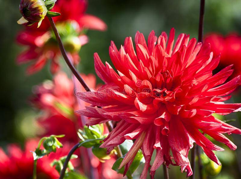Dahlias rouges photos stock