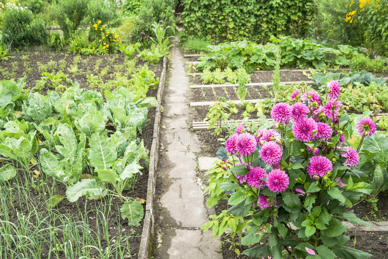 Dahlias in a Vegetable Garden. Dahlias and sunchoke in a vegetable garden patch royalty free stock photos