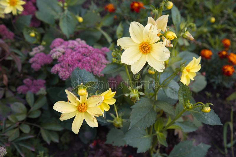 Dahlias yellow against green leaves in a flower bed. Flowers, flora, stock photography