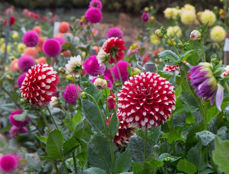 Dahliaträdgård royaltyfri bild