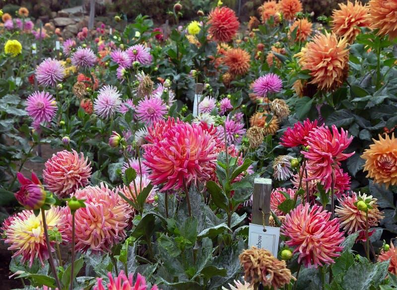 Dahliaträdgård i blom arkivbild