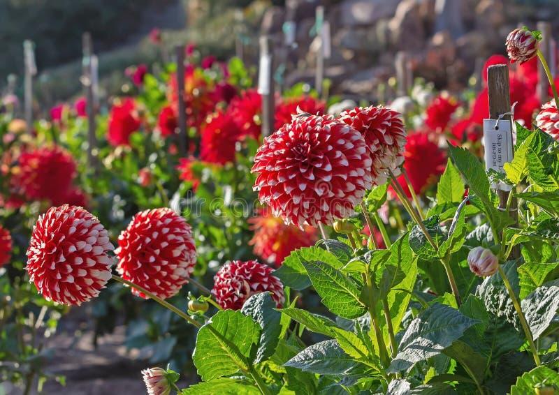 Dahliaträdgård i blom med röda och vita dahlior royaltyfri foto