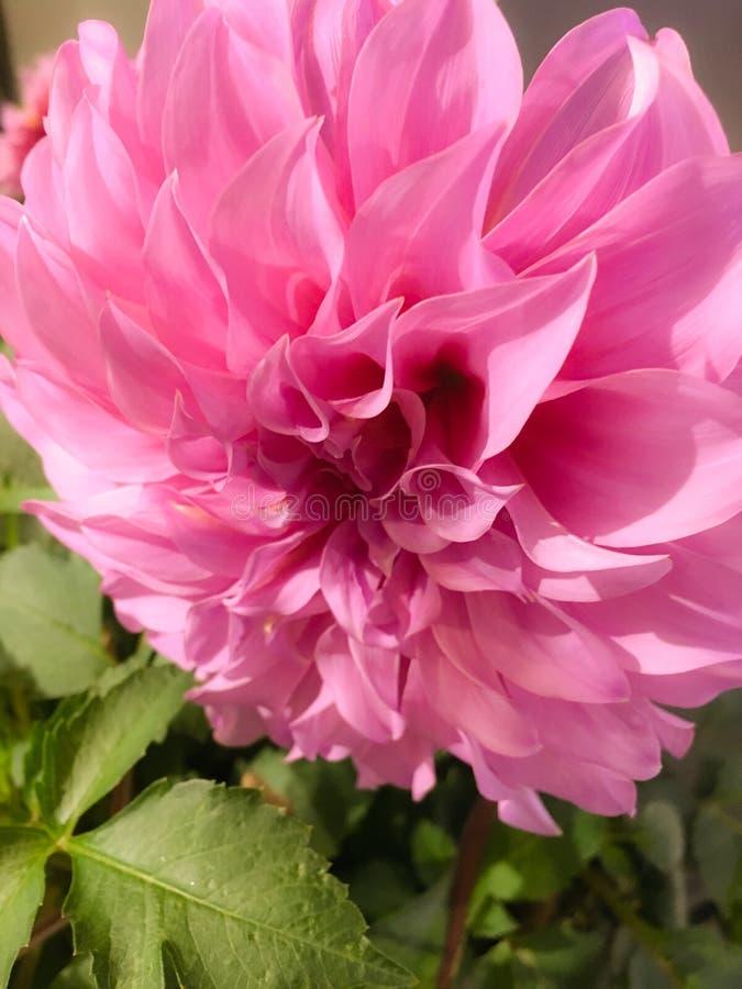 """Dahlie 'rosa Petticoat ' Dahlie ââ-'¬ËœBerliner Kleeneââ-'¬â """"¢ ist eine kürzere Dahlie, die eine ausgiebige blühende Pflanze i stockfotos"""