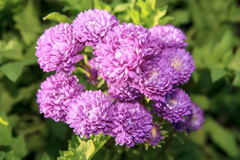 Dahlie-Blume im Garten lizenzfreie stockfotografie