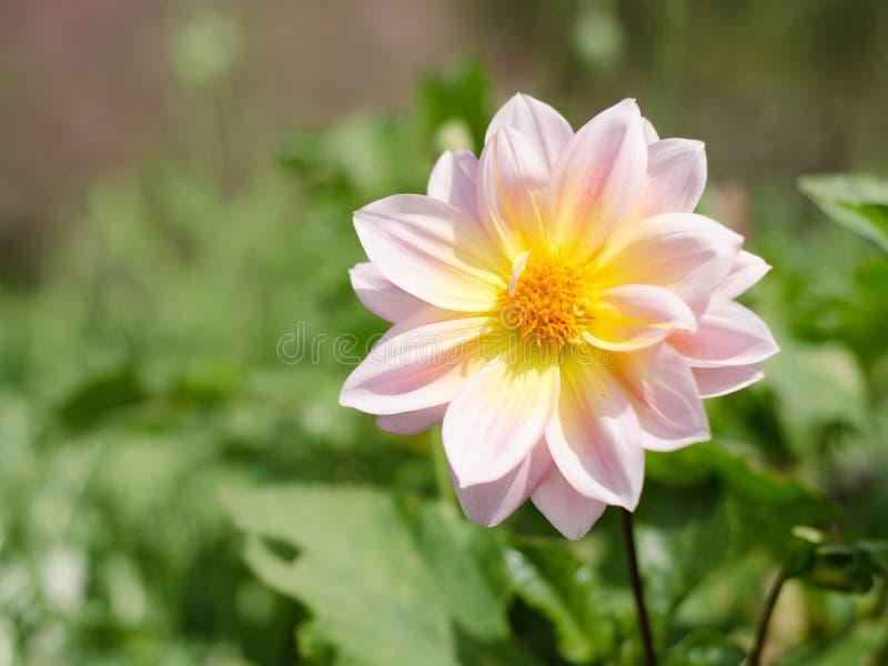 Dahlie-Blume im Garten Schöner Blumenhintergrund Rosafarbene Dahlieblume stockfotografie