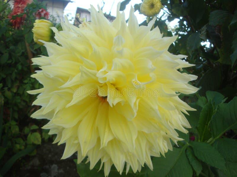 Dahlie hortensis stockbilder