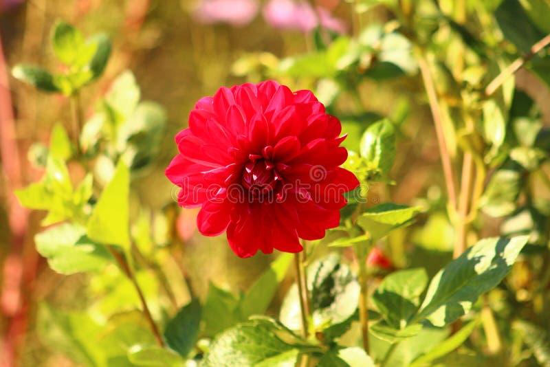Dahlie im Rot an einem Sommertag stockfoto