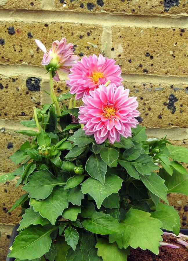 Dahlien-Blumenanlage des kleinen Gartenraumes eingemachte stockfotos