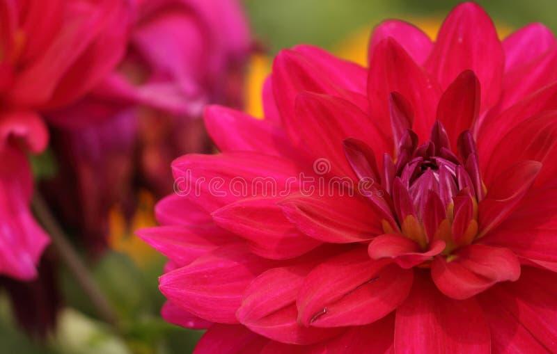 Dahlienblume in einem Garten lizenzfreie stockfotografie