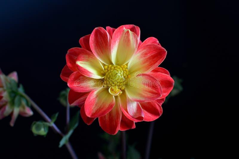 Dahlienschwarz-Hintergrundrot spitzte gelbe Blumenblätter mit gelber Augennahaufnahme stockbild