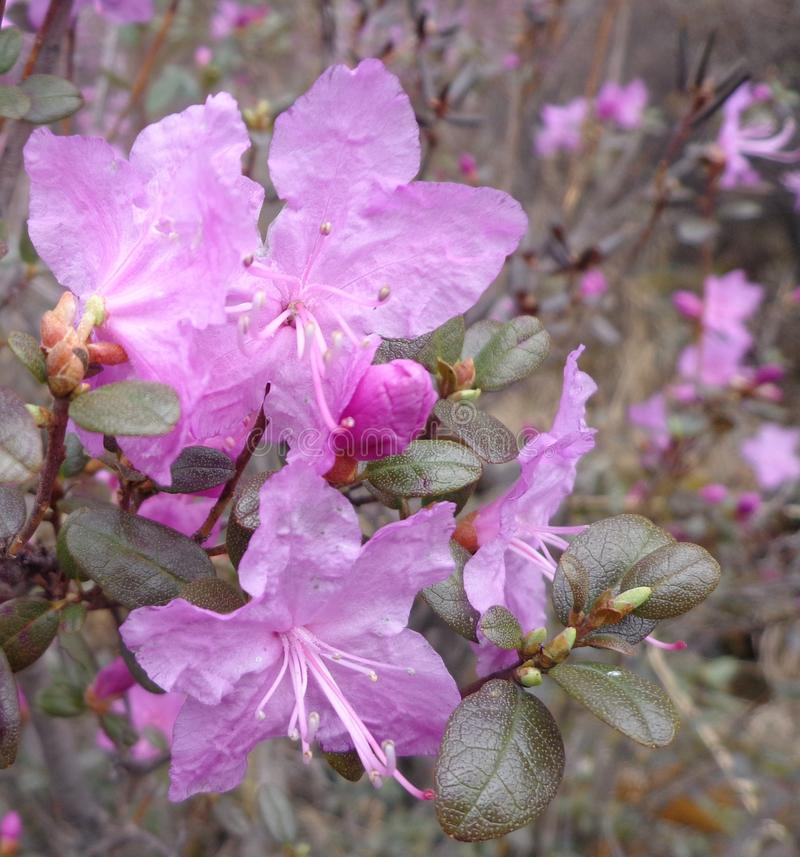 Dahurian rhododendron royalty free stock images