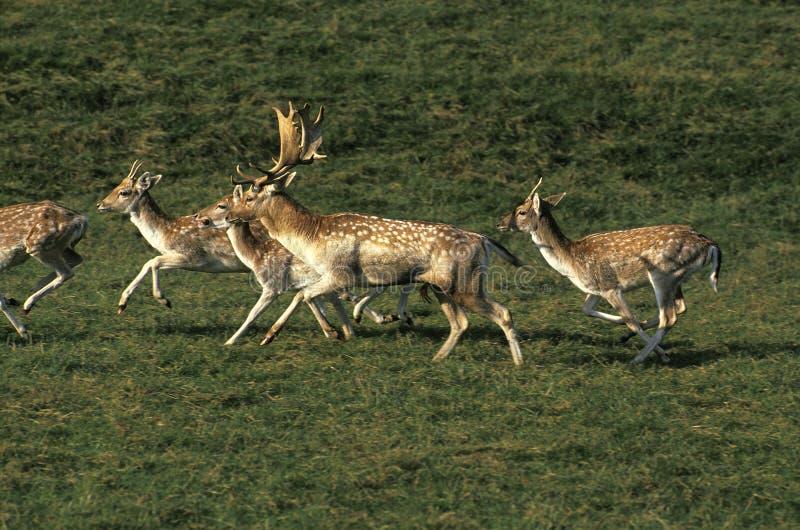 DAIM dama dama. Fallow Deer, dama dama, Herd with Male and Females running on Grass royalty free stock image