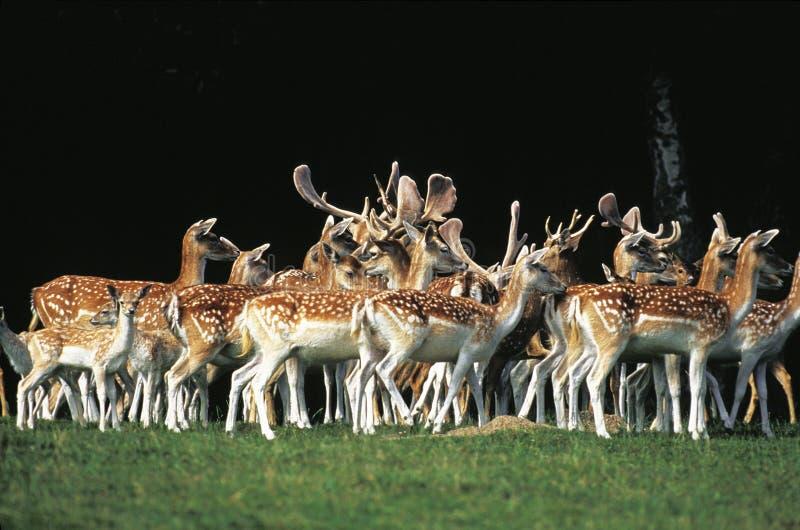 DAIM dama dama. Fallow Deer, dama dama, Herd with Males and Females standing on Grass royalty free stock photos