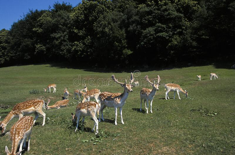 DAIM dama dama. Fallow Deer, dama dama, Herd with Males and Females standing on Grass stock images