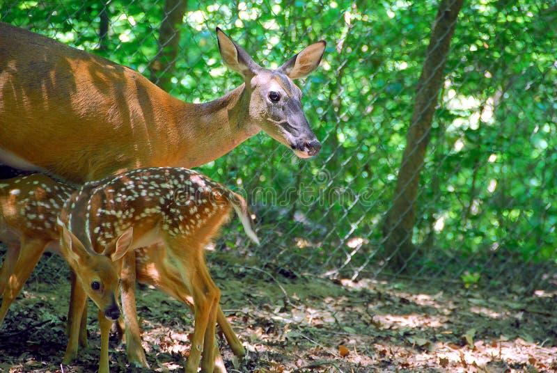 Daina della mamma che alimenta i suoi fawns fotografia stock