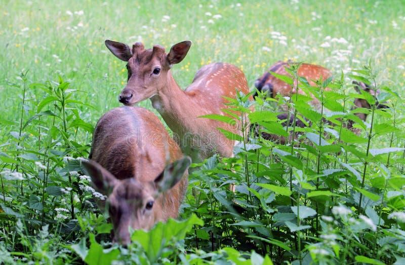 Daina e fawn dei cervi di Whitetail in un beanfield in sera tardi immagini stock libere da diritti