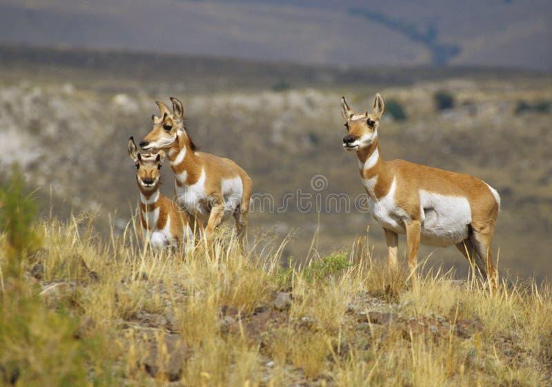 Daina e Fawns dell'antilope di Pronghorn fotografie stock