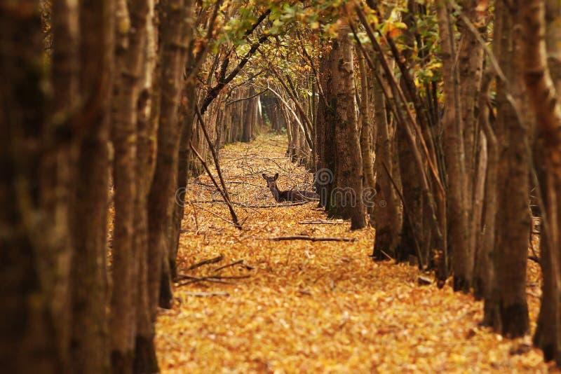 Daine de cerfs communs dans la forêt d'automne photos libres de droits