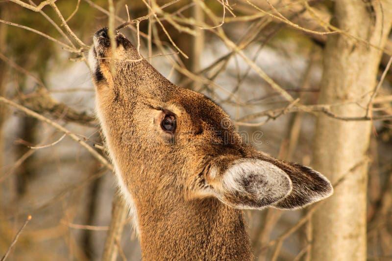 Daine de cerfs communs de Whitetail alimentant en hiver photographie stock libre de droits