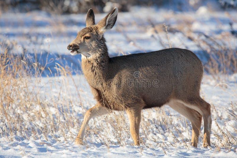 Daine de cerfs communs de mule passant en revue dans la neige photos stock