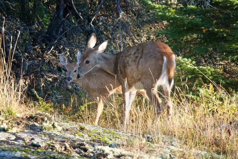 Daine de cerfs de Virginie protégeant son faon images libres de droits