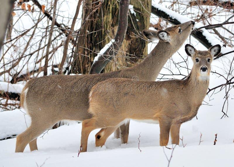 Daine et bête d'un an de cerfs communs de Whitetail photographie stock