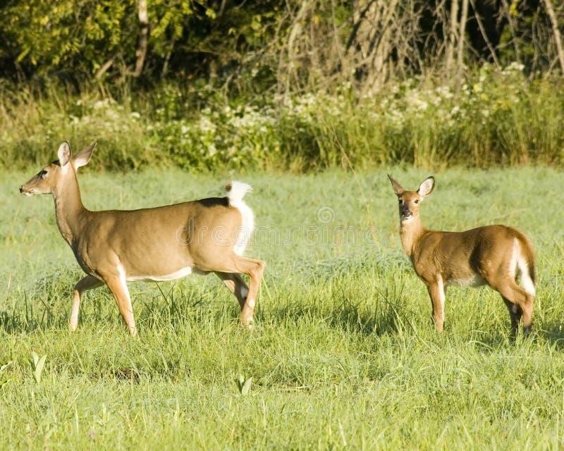Daine et faon de cerfs communs de Whitetail image libre de droits
