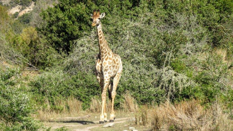 Dainty giraffe stock image