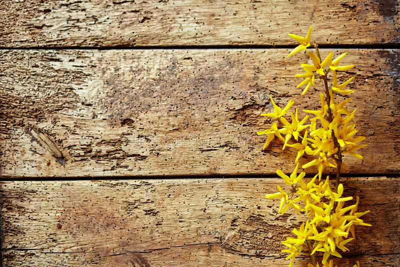 Dainty yellow forsythia border on rotten wood royalty free stock photography