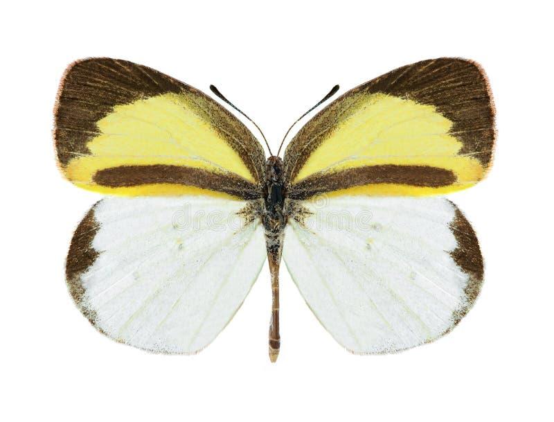 Daira de Eurema de la mariposa (varón) imagenes de archivo