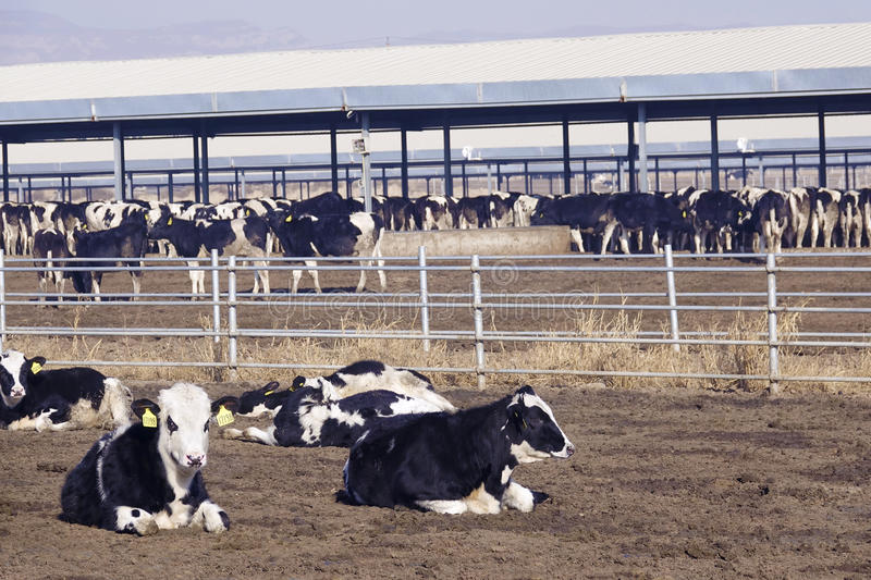 Dairy cattle farms. The scenery of dairy cattle farms stock image