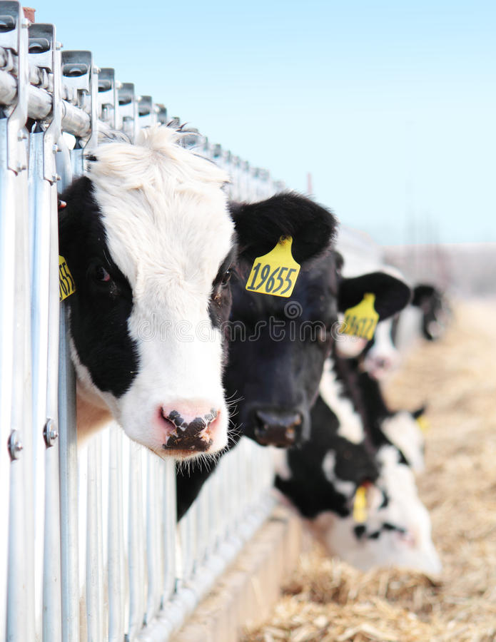 Dairy Cattle Looking. Holstein dairy cattle looking with their heads poking through manger stock photo