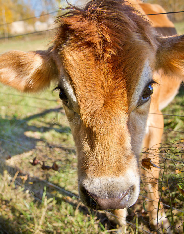 Download Dairy Cow stock image. Image of friendly, heifer, farm - 22817343