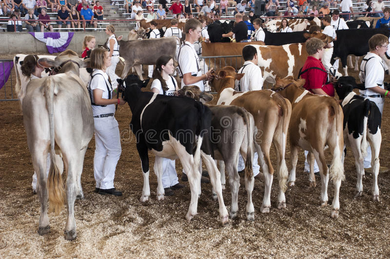 Dairy Cow Showing Contest, Competition stock images