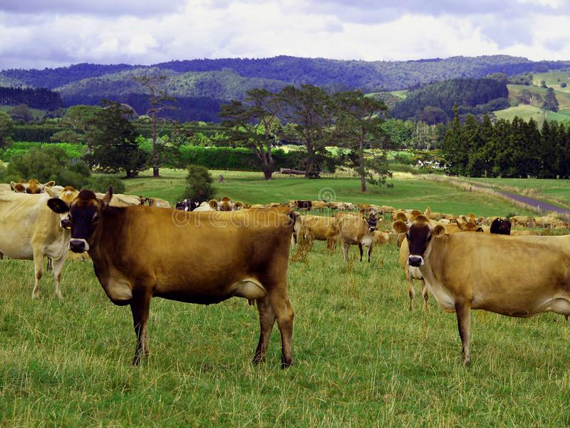 Dairy cows in a beautiful landscape stock photography