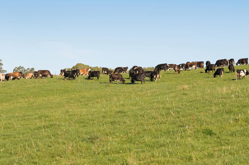 Dairy Cows in black white brown grazing grass on green farmland stock photos