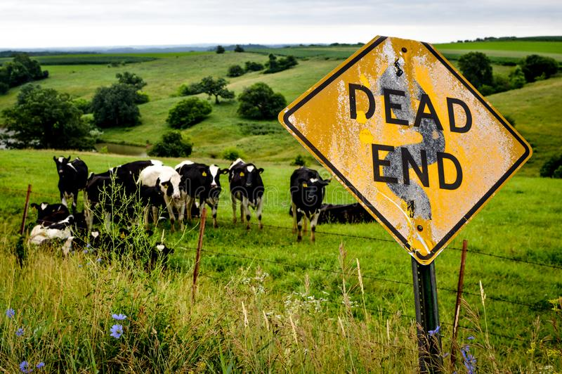 Dairy Cows with Dead End Sign. Dairy Cows on the rolling country hillside in Wisconsin with a Dead End sign stock photography