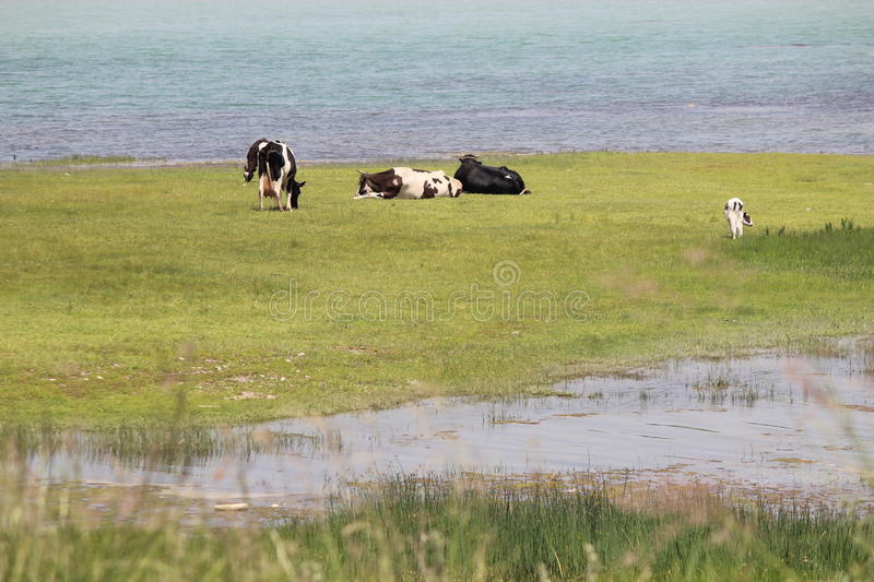 The dairy cows of lake stock photography
