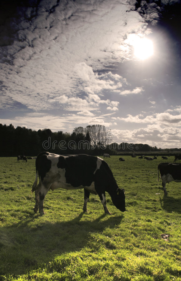 Dairy cows in a meadow royalty free stock photography