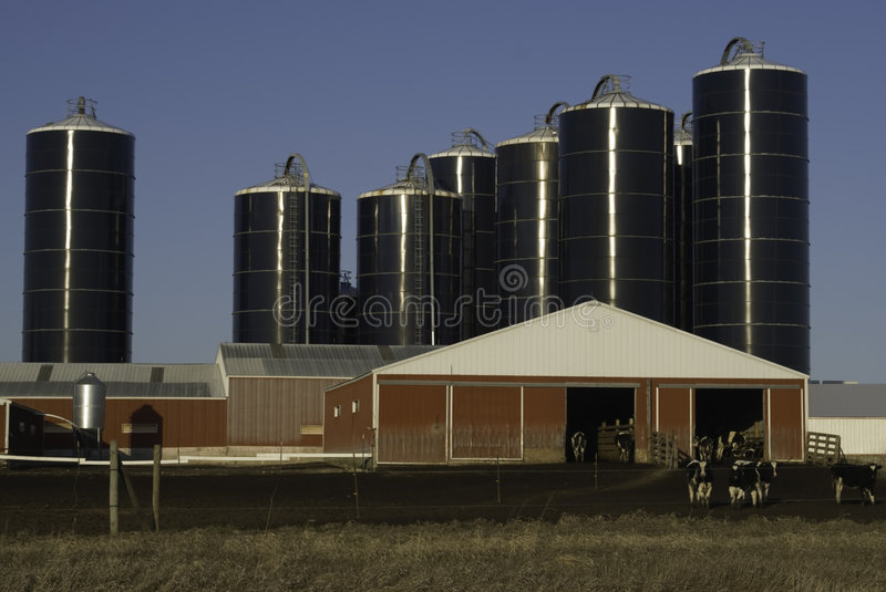 Dairy Farm. In Minnesota showing cows, barn and silos with clear blue sky royalty free stock photography