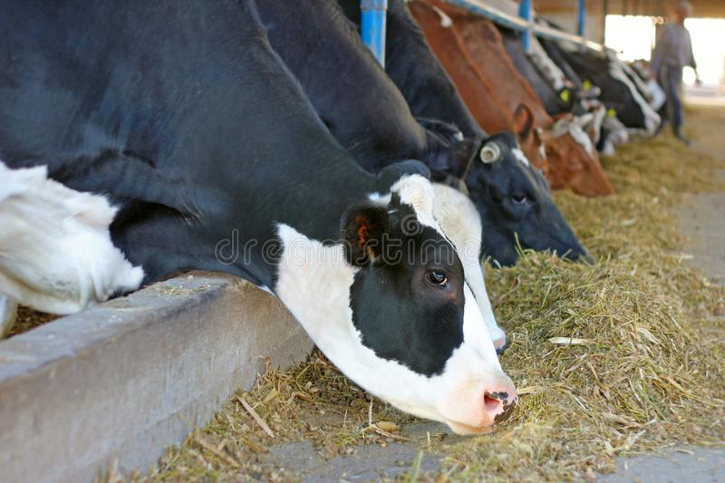 Cows on farm stock image