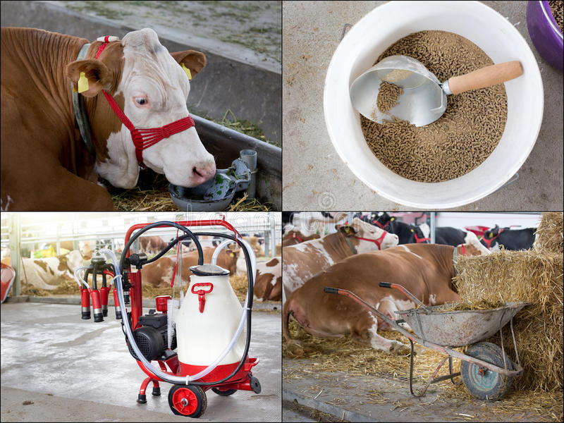 Dairy industry collage. Collage of dairy industry. Simmental cows and milking automotive device in barn royalty free stock images