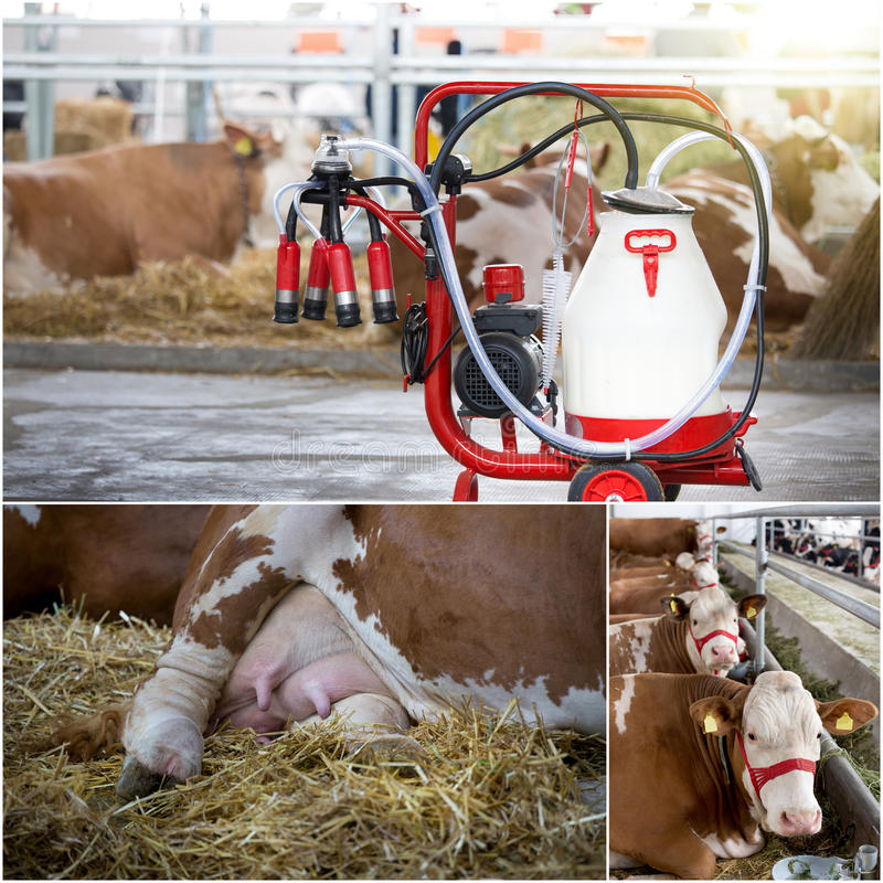Dairy industry collage. Collage of dairy industry. Simmental cows and milking automotive device in barn royalty free stock image