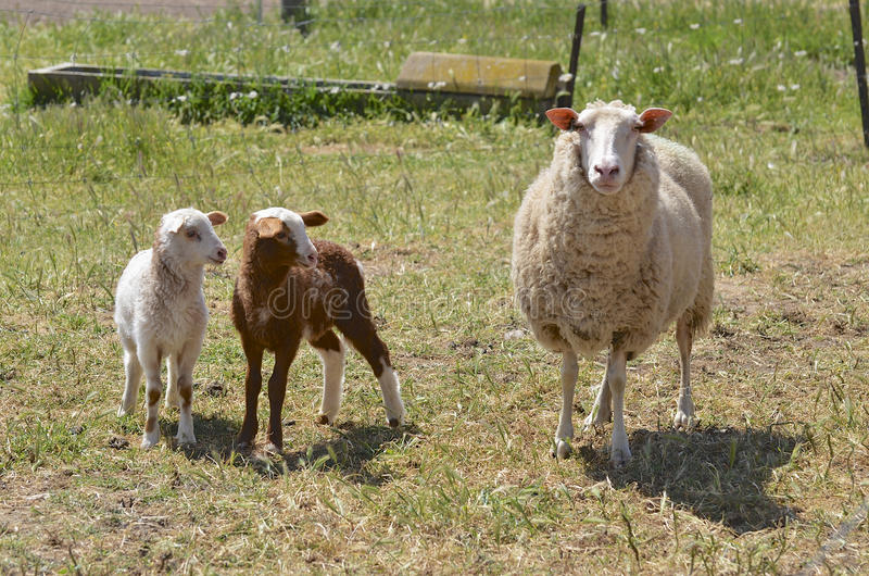 Dairy Sheep With Lambs In Australia Royalty Free Stock Photo
