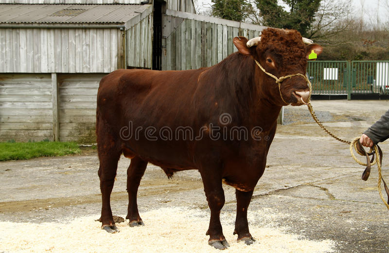 Dairy Shorthorn II. This Dairy Shorthorn bull is part of a breeding program to save the breed from extinction in the UK stock photos